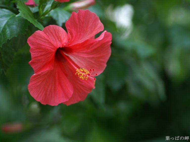 Hibiscus Chinese Rose Red 1600 x 1200 768x576