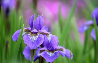 Irises Flowers Petals 2048 x 1365 340x220