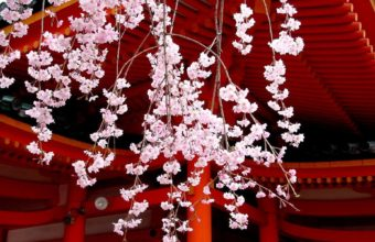 Japan Cherry Blossoms Flowers Spring 1920 x 1200 340x220