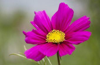 Kosmeya Flower Petals 2048 x 1408 340x220