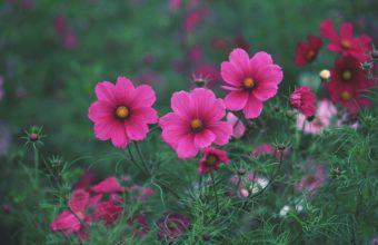 Kosmeya Flowers Pink 2950 x 2094 340x220