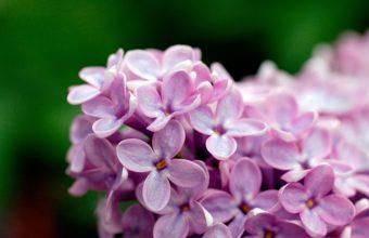 Light Purple Flowers 1080p 1920 x 1080 340x220