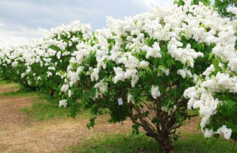 Lilac Bloom Spring 2436 x 1600 340x220