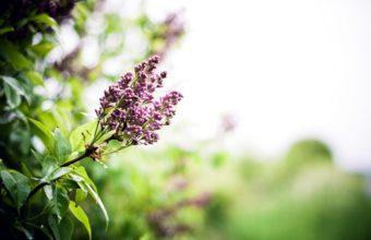 Lilac Branch Spring 2560 x 1600 340x220