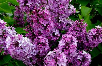 Lilac Flowers Petals 1920 x 1080 340x220