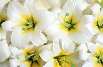 Lilies Flowers White 1200 x 900 340x220