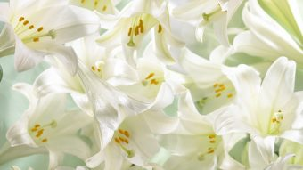 Lilly White Wallpaper 340x191