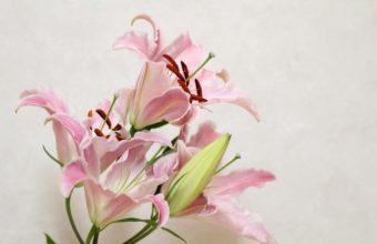 Lily Flower Bud 3600 x 2380 340x220
