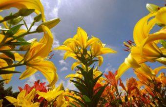 Lily Flowers 2560 x 1600 340x220