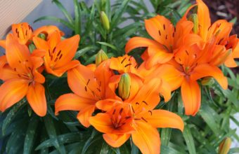 Lily Orange Bright 4590 x 3040 340x220