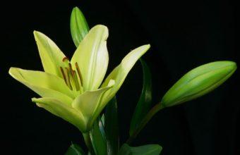 Lily Plant Flower 2560 x 1600 340x220
