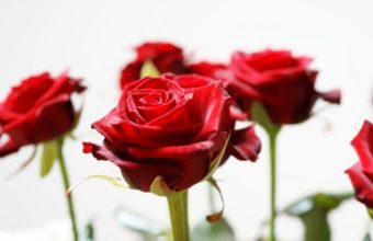 Long Stem Red Roses Wallpaper 1920 x 1200 340x220
