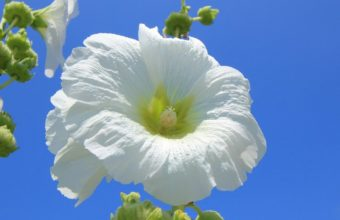 Mallow Flower White 1371 x 900 340x220