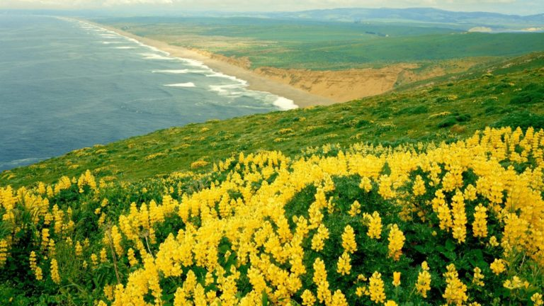 Mountain Of Yellow Flowers Near Beach 1920 x 1080 768x432