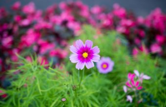 Nature Flower Garden Cosmos Pink Hd 2880 x 1800 340x220