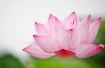 Nature Flower Garden Love Pink Lily Lotus 2560 x 1600 340x220