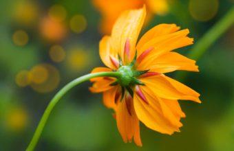 Orange Daisy 1920 x 1200 340x220