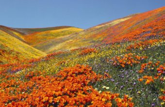 Orange Poppies Mountain Field 1920 x 1200 340x220