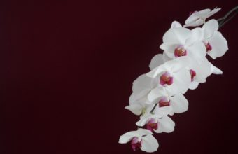 Orchid White Branch 1900 x 1220 340x220