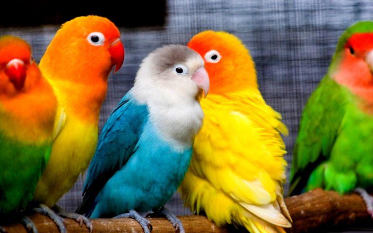 Parrot Wallpapers 29 2560 x 1600 768x480