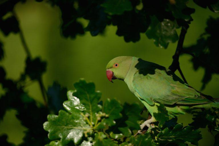 Parrot Wallpapers 45 2048 x 1367 768x513