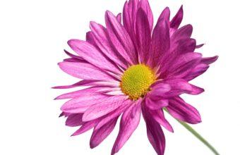 Pink Daisy 1080p 1920 x 1080 340x220