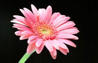 Pink Daisy 1600 x 1200 340x220