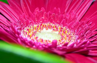 Pink Daisy Flower 1920 x 1200 340x220