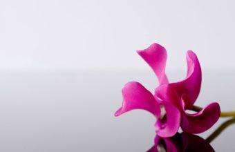 Pink Flower Alone 1920 x 1080 340x220