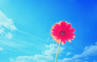 Pink Gerbera Flower In Sky 2560 x 1600 340x220