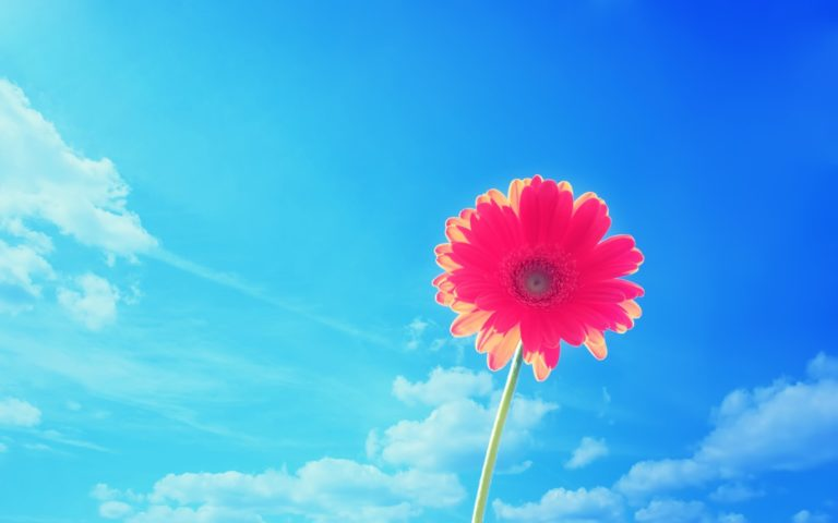 Pink Gerbera Flower In Sky 2560 x 1600 768x480