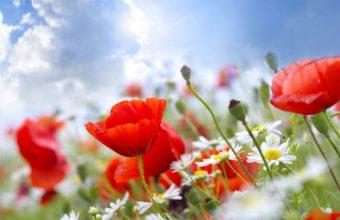 Poppies Daisies Field 1920 x 1180 340x220