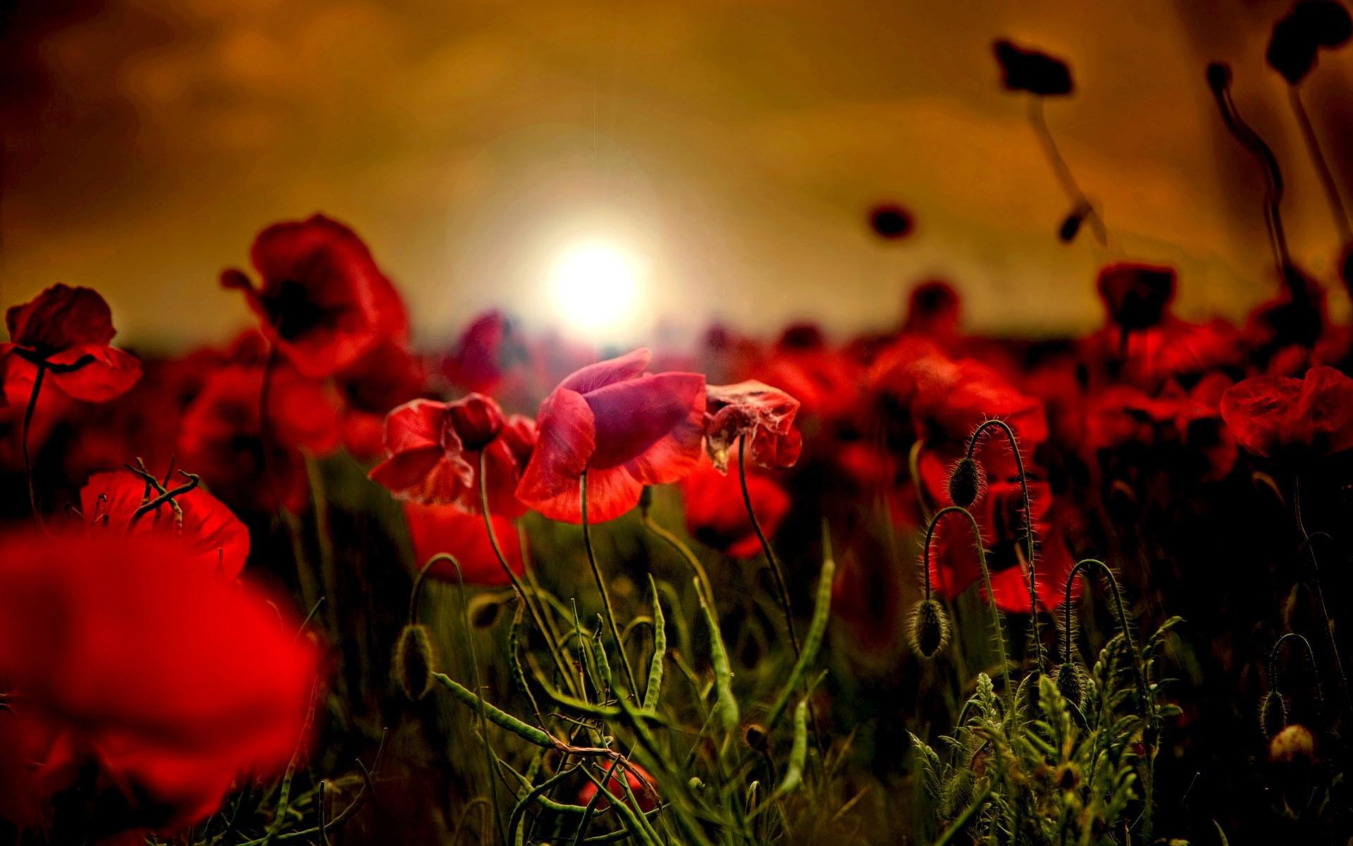 поле цветы рассвет field flowers dawn  № 3837127 загрузить