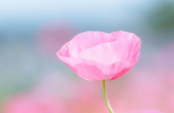 Poppy Pink Flower Field Close Up Blurred 1920 x 1200 340x220