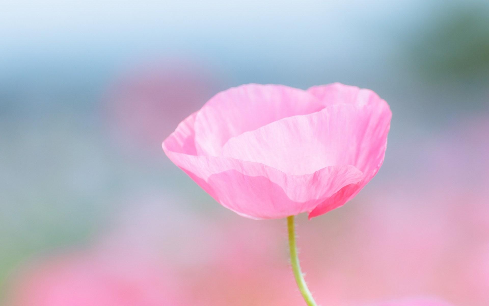 Poppy Pink Flower Field Close Up Blurred 1920 X 1200