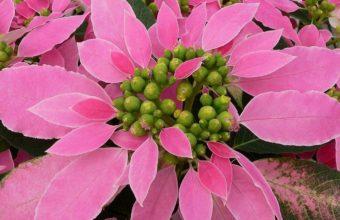 Puansettiya Flower Pink 1220 x 900 340x220