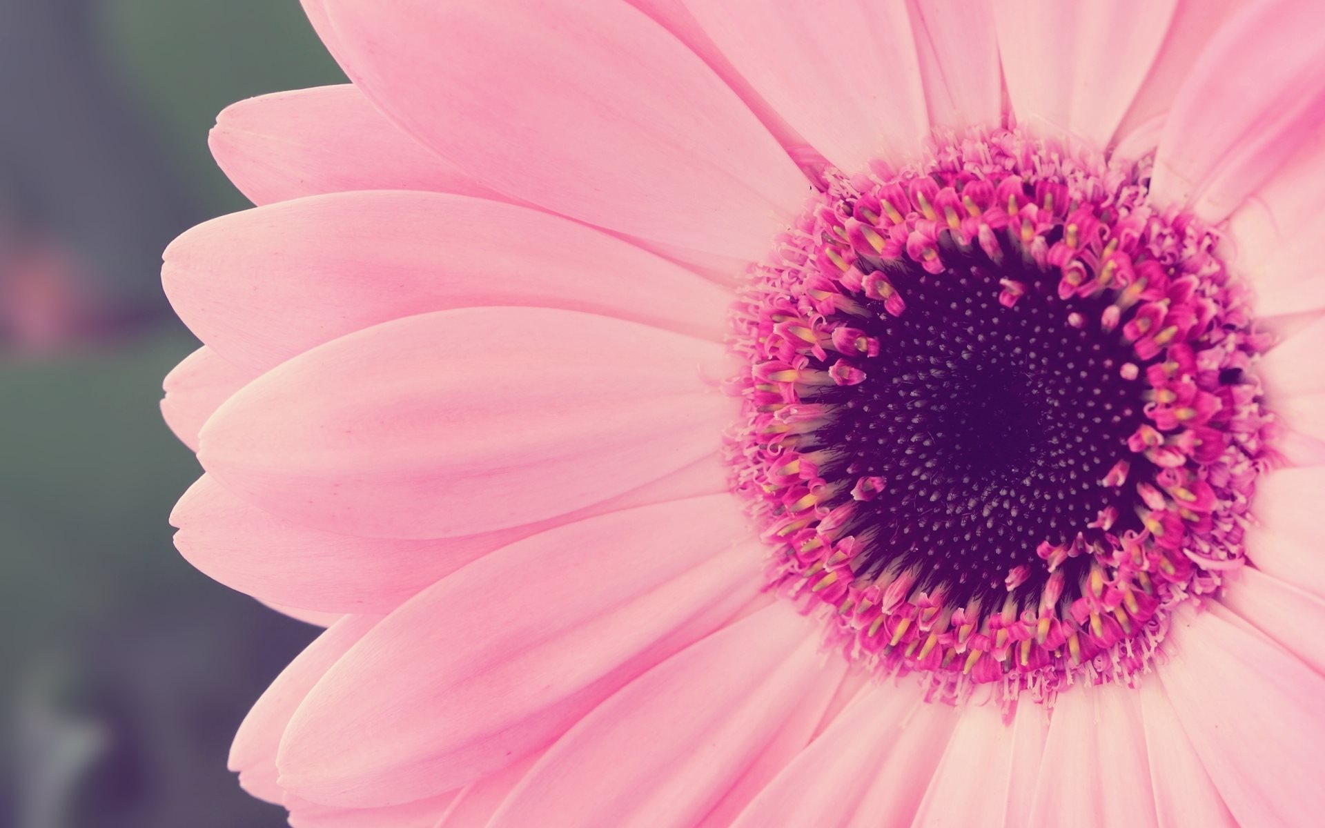 Pure Pink Flower Beauty 1920 X 1200
