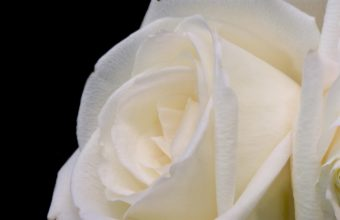 Pure White Rose 1900 x 1200 340x220