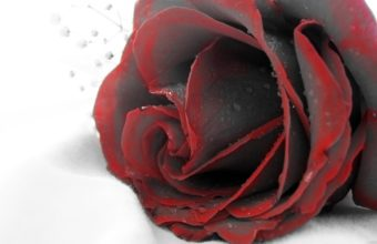 Red Rose Wallpapers Hd