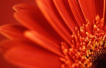 Red Gerbera Daisy 1920 x 1080 340x220