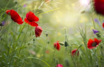Red Grass Field Flowers Poppies Summer 2048 x 1365 340x220