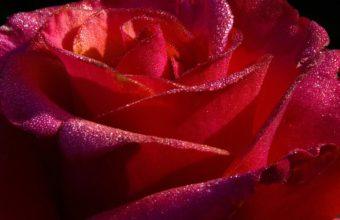 Red Rose Closeup 1280 x 1024 340x220