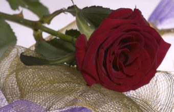 Red Rose Flower 2560 x 1580 340x220