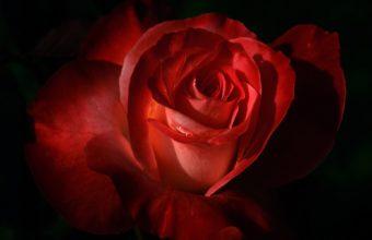 Red Rose In Dark Light 1920 x 1200 340x220