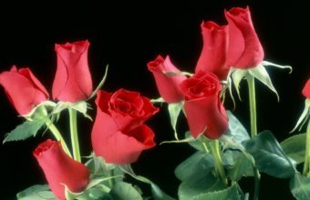Red Roses Flowers 1920 x 1200 340x220