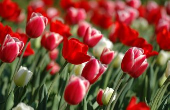 Red Tulips In Spring 1920 x 1200 340x220