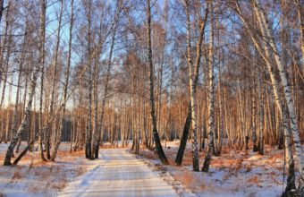 Road Forest Birch Grove 1440 x 900 340x220