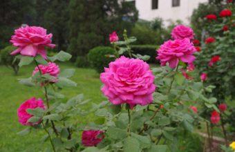 Rose Flower Pink 1385 x 900 340x220