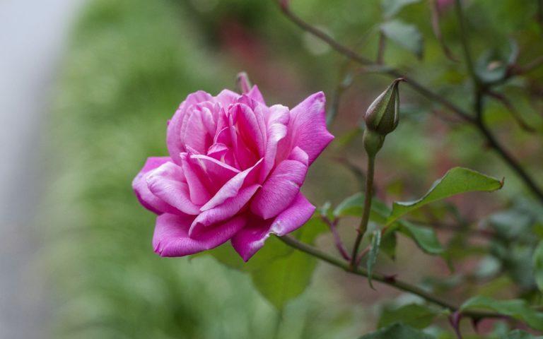 Rose Petals Branch 2560 x 1600 768x480