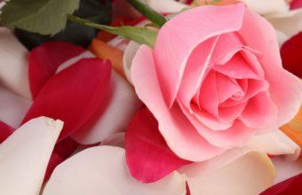 Rose Pink Flower Petals 2560 x 1580 340x220